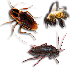 Insect Extermination:Black Widows, Ants, Earwigs, Fleas, Mites, etc.