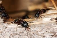 Carpenter Ant Extermination