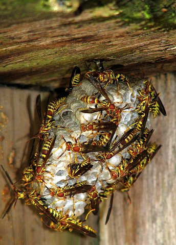 Walnut Creek Wasp Extermination